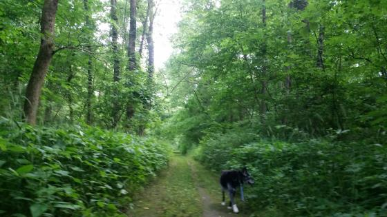 Dog walking on grass trail in forest