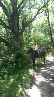 Horse and rider under giant branching tree at Sand Creek in Decatur, Illinois