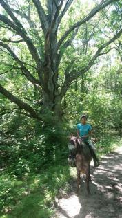 Horse and Rider under giant tree at Sand Creek in Decatur, Illinois