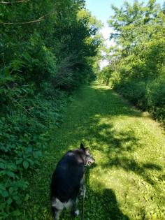 Dog hiking on equestrian trails at Roland Olson Forest Preserve