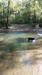 Dog playing in Sangamon River