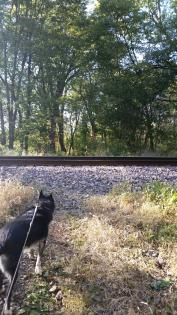 Dog looking at railroad crossing