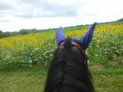 Rider looking through horse ears at a field of sunflowers at Morrison-Rockwood State Park